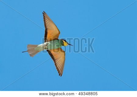 flying bee-eater(merops apiaster) and the blue sky
