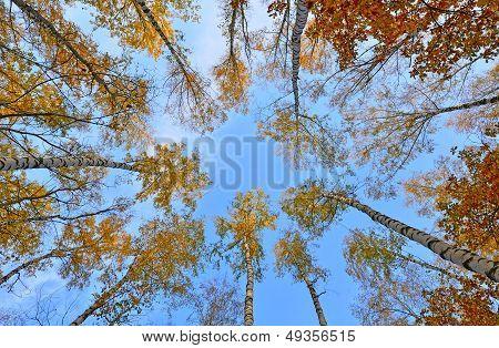 Crones Of Trees