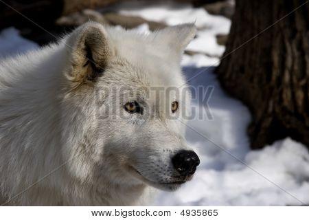 Arctic Wolf Iii (canis Lupus Arctos)