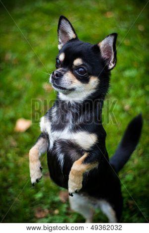 Chihuahua outdoors