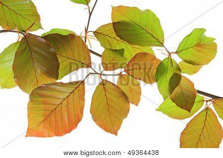 Copper Beech (Fagus sylvatica purpurea)