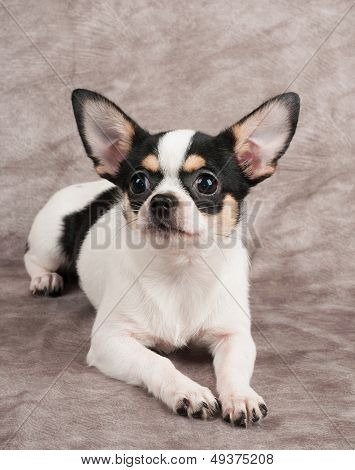 Chihuahua On Textile Background
