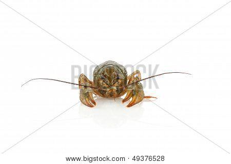crawfish alive one isolated on white