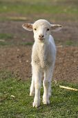 picture of mustering  - cute little lamb - JPG