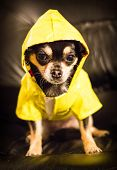 foto of chiwawa  - Closeup of Chihuahua wearing a yellow raincoat - JPG