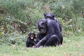picture of chimp  - Chimp family play in grassy zoo habitat - JPG