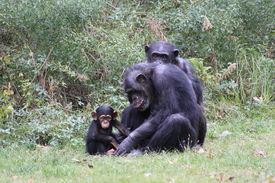 picture of chimp  - Chimp family play in grassy zoo habitat - JPG