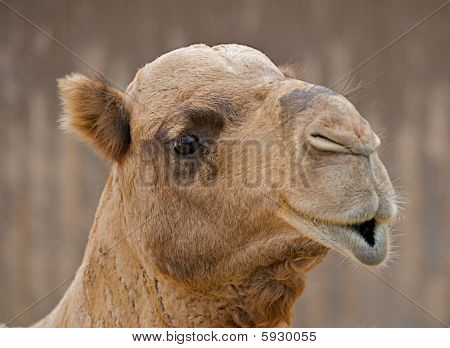 Close Up Of The Face Of A Camel With Pouty Lips.