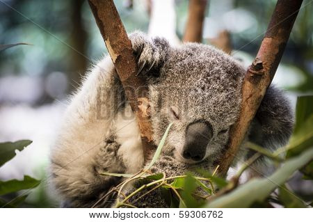 Koala Sleeping In Gumtree