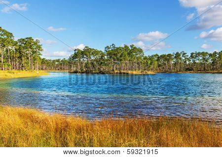 Bald Cypress Trees  in a florida swamp