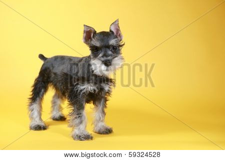 Cute Little Miniature Schnauzer Puppy Dog