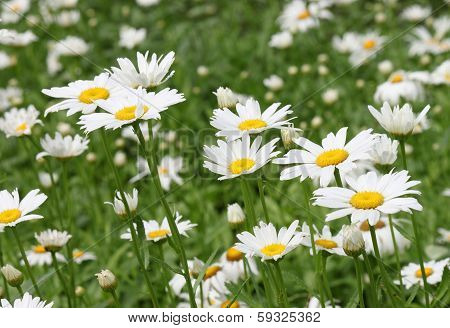 Flowerbed With Daisies