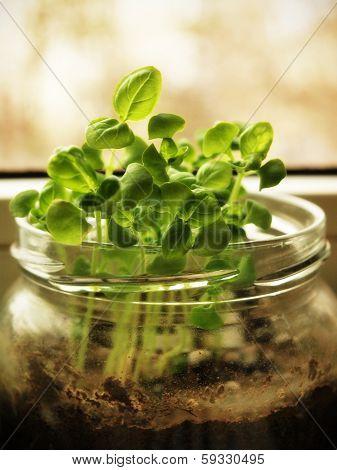 Fresh baby basil in a jar