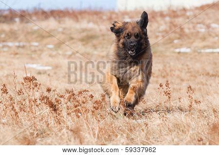 Running Leonberger
