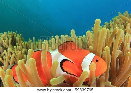 Clown Anemonefish in Anemone underwater in ocean