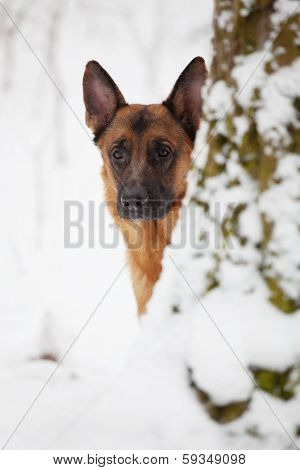 Shepherd Looks from Behind A Large Tree