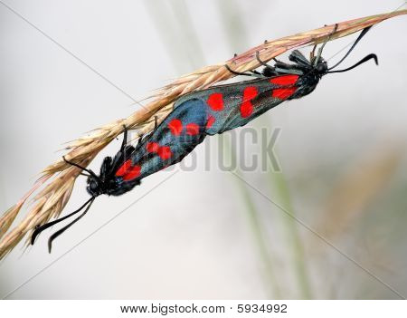 The pair of butterflies Zygaena filipendulae