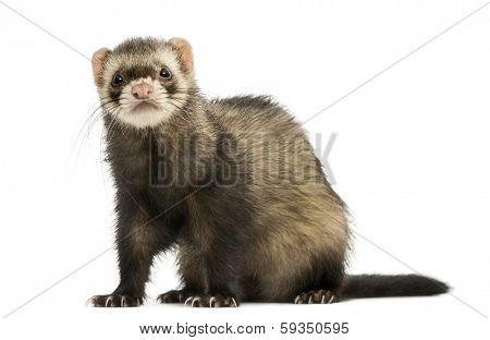 Ferret sitting, looking at the camera, isolated on white