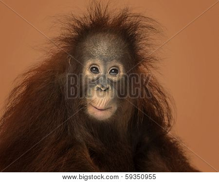 Young Bornean orangutan looking impressed, Pongo pygmaeus, 18 months old, on a brown background