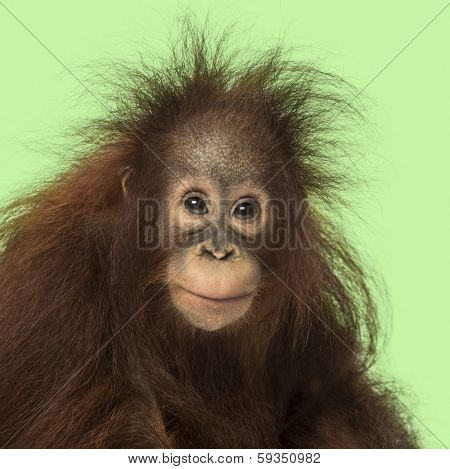 Young Bornean orangutan looking at the camera, Pongo pygmaeus, 18 months old, on a green background