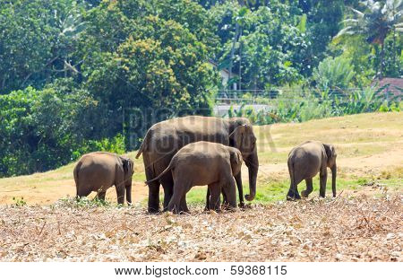 Elephants at the Pinawelle orphanage