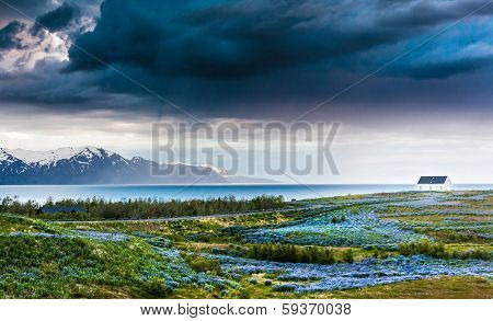 Iceland: lupins meadow over atlantic coastline. Husavik, north Iceland.