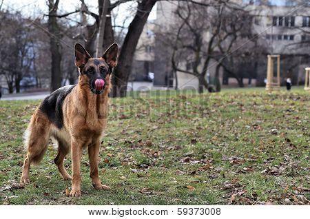 funny German Shepherd on the grass
