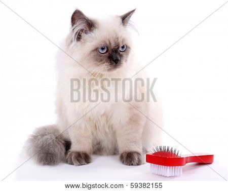 Beautiful cat with brush isolated on white