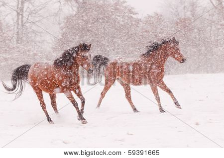 Two Arabian horses running in a blizzard