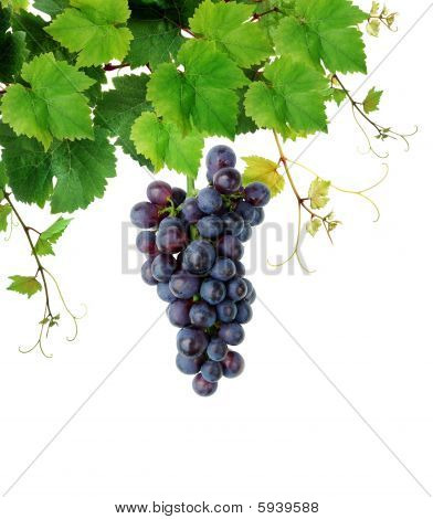 Isolated grapevine with blue grape