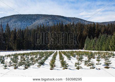 Pine And Fir Nursery