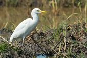 Cattle Egret Standing Walking Through The Marsh