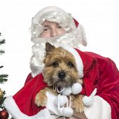 Close-up of Santa Claus holding a cairn terrier, isolated on white