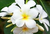 stock photo of frangipani  - beautiful white frangipani flowers on dark background - JPG