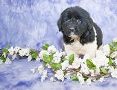 picture of newfoundland puppy  - A sweet Newfoundland puppy standing with white flowers around her along with copy space - JPG