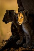 pic of food chain  - A ray of sunrise hits a young lion cub in the Serengeti of Tanzania - JPG