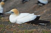 stock photo of gannet  - A gannet resting on a rocky landscape - JPG