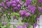 pic of lilac bush  - A large lilac bush in full bloom shades a white fence - JPG