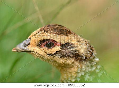 Close up of common pheasant