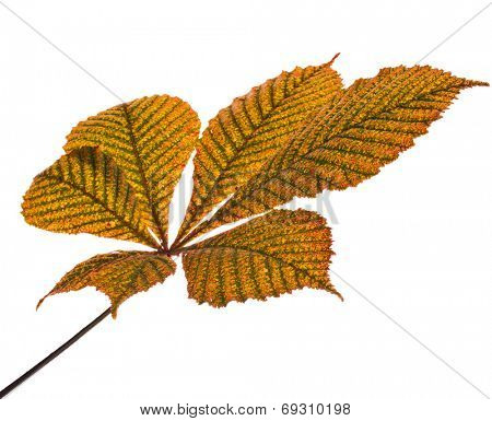 One Single Leaf of horse chestnut tree close up (Aesculus hippocastanum) isolated on a white background