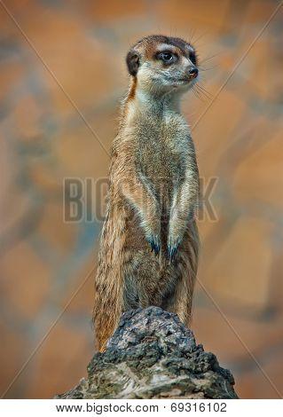 Alert Suricate Or Meerkat Suricata Standing To Lookout