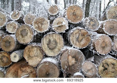 Stumps in winter forest