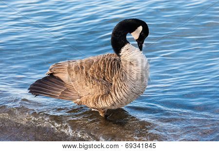 Canada Goose Preening In Shallow Water.