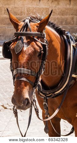 Brown Horse With Blinders And Harness.