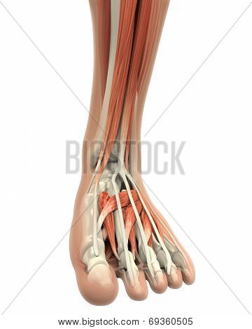 Human Foot Muscles Anatomy