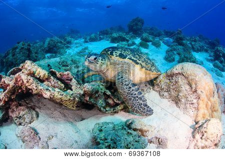 Sea Turtle On A Coral Reef