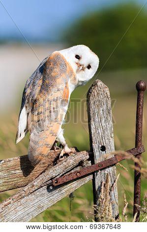 Barn Owl On A Fence