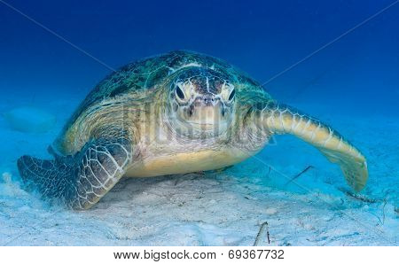 Sea Turtle On The Seabed