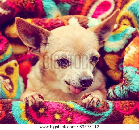 a cute chihuahua wrapped in a paisley throw blanket toned with a retro vintage instagram filter
