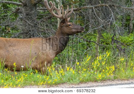 Elk Near The Road
